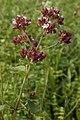 Oregano (Origanum vulgare) - Kitchener, Ontario.jpg