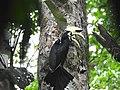 Oriental Pied hornbill male2.jpg