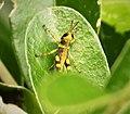 Orthopteran nymph (48807984596).jpg