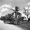 Ossenwagen in de buurt van Lelydorp in Suriname, Bestanddeelnr 252-5548.jpg