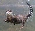 Otter 5 (3308782493).jpg