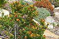 Overberg Pincushion (Leucospermum oleifolium) (32842822061).jpg