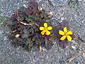 Oxalidales - Oxalis corniculata - Kew 1.jpg