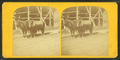 Oxen in Charlestown Navy Yard, from Robert N. Dennis collection of stereoscopic views.png