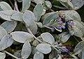 Oyster Plant (Mertensia maritima) - geograph.org.uk - 967148.jpg