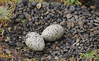 Black oystercatcher - Nest