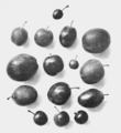 PSM V66 D225 Wild stoneless plum crossed with french prune.png