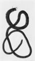 PSM V76 D412 Atlantic palolo worm eunice fucata.png