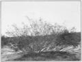 PSM V79 D547 Creosote bush covilla larrea.png