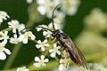 Pachynematus.clitellatus.-.lindsey.jpg