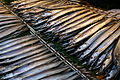 Pacific saury dried overnight.jpg