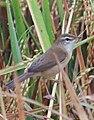 Paddyfield warbler (Acrocephalus agricola).jpg
