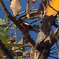 Painted Redstart (8215449818).jpg
