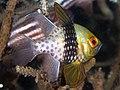 Pajama cardinalfish (Sphaeramia nematoptera) (44065265714).jpg