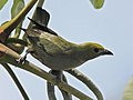 Palm Tanager RWD3.jpg