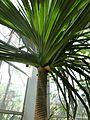 Pandanus - Palmengarten Frankfurt.jpg