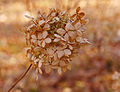 Panicle Hydrangea Hydrangea paniculata 'Limelight' Deep DoF 2600px.jpg
