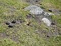 Papallona entre el Prat Fondal i l'estany Mal P1300520.jpg