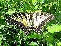Papilio canadensis (Papilionidae) - (imago), Lamoille (VT), United States.jpg