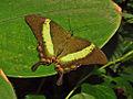 Papilio palinurus (8).JPG