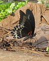 Papilio polymnestor Cramer, 1775 – Blue Mormon at Kottiyoor Wildlife Sacntuary (3).jpg