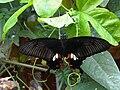 Papilio polytes - NHML.jpg