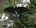 Papilio troilus P1030019a.jpg