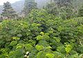 Paraserianthes lophantha kz5.JPG