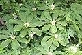 Paris japonica and Trautvetteria caroliniensis var. japonica.jpg
