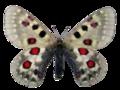 Parnassius tianschanicus.png
