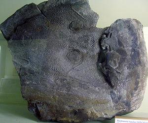 Parotosuchus - Skull impression of P. nasutus in the Museum für Naturkunde, Berlin
