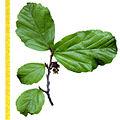 Parrotia leaf.jpg