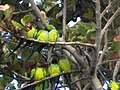 Parrots living in a tree on the beach - panoramio.jpg