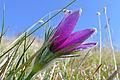 Pasque Flower (Pulsatilla vulgaris) (16589467683).jpg