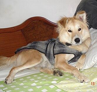 Basque Shepherd Dog - Image: Pastor vasco India