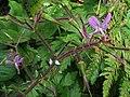 Pata de Gallo (Geranium reuteri).JPG