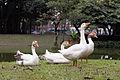 Patos campo de santana.jpg