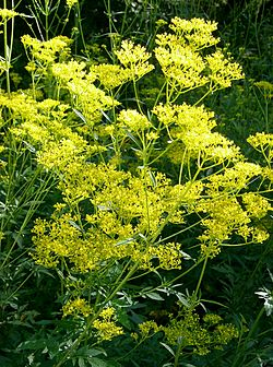 http://upload.wikimedia.org/wikipedia/commons/thumb/d/dc/Patrinia_scabiosifolia2.jpg/250px-Patrinia_scabiosifolia2.jpg