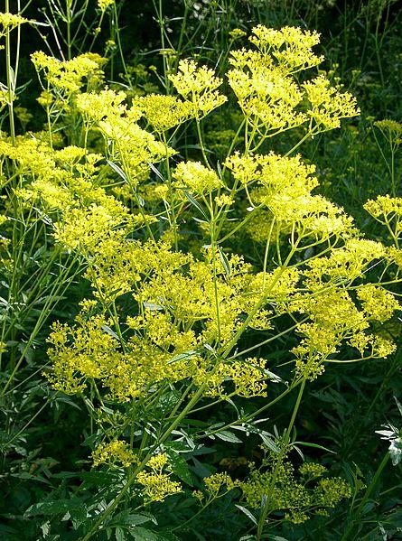 Ominaeshi - Patrinia scabiosifolia