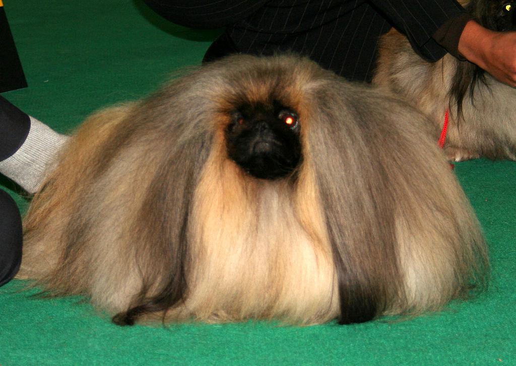 York Pa Dog Show