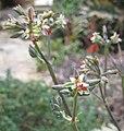 Pelargonium dasyphyllum 02.jpg