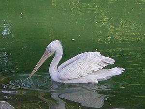 Balta Mică a Brăilei Natural Park - Pelecanus crispus