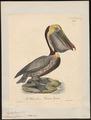 Pelecanus fuscus - 1825-1834 - Print - Iconographia Zoologica - Special Collections University of Amsterdam - UBA01 IZ18000179.tif