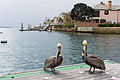 Pelicans at Jetty View Park.jpg
