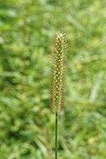 Pennisetum sp 02528.jpg