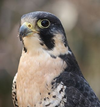 Chordate - A peregrine falcon, the world's fastest animal