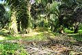 Perkebunan kelapa sawit milik rakyat (45).JPG