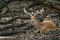 Persian Fallow Deers in Dasht-e Naz Wildlife Refuge 2020-06-02 17.jpg