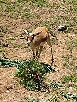 Persian Goitered Gazelle2.jpg