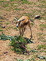 Persian Goitered Gazelle2.jpg